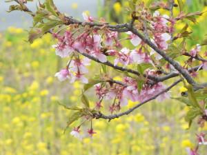 河津桜と菜花