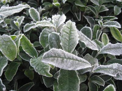 凍てつく茶葉