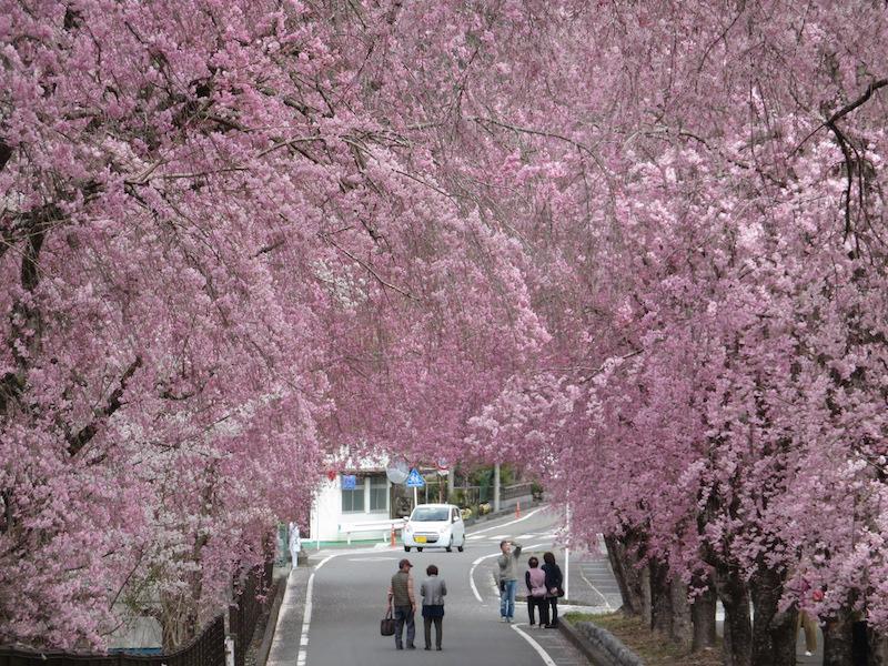 徳山枝垂れ桜のトンネル