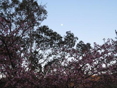 玉露の里 月と河津桜