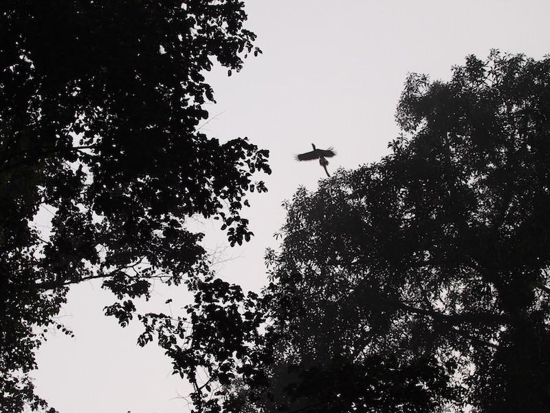 サイチョウが飛んだ瞬間!