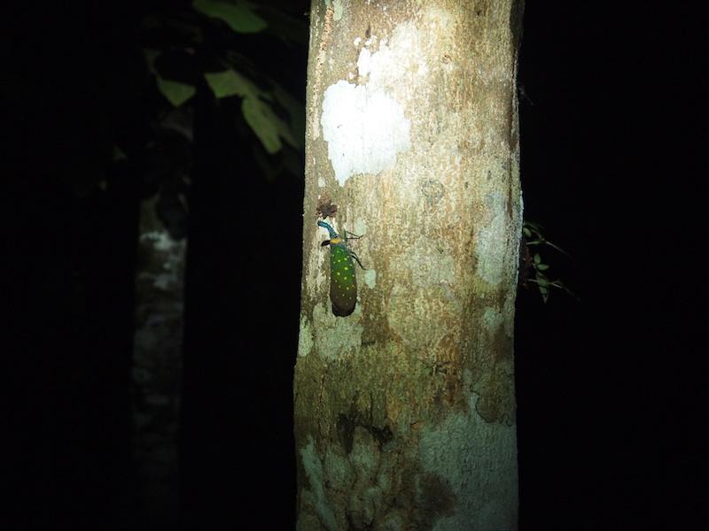 夜のお散歩で見つけたビワハゴロモ