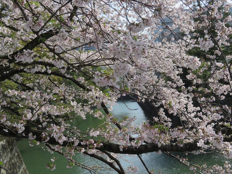 駿府城お濠桜
