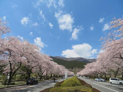 桜中央通り