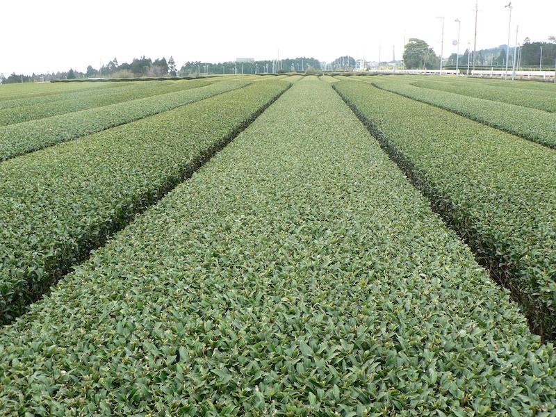 鹿児島の茶畑(畝)